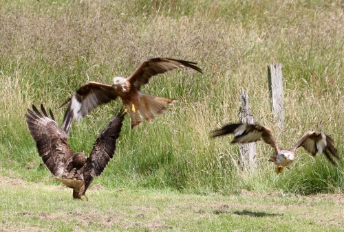 7F1A5406 Buzzard & Kites