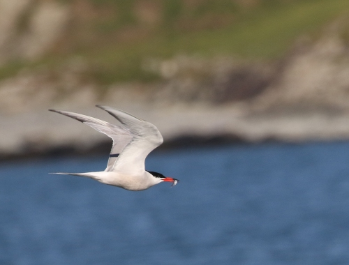 7F1A5506 Common Tern