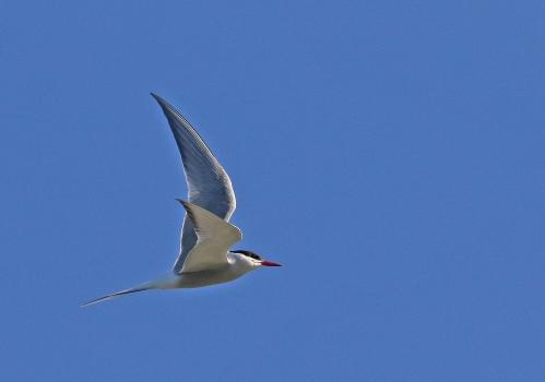 7F1A5532 Arctic Tern