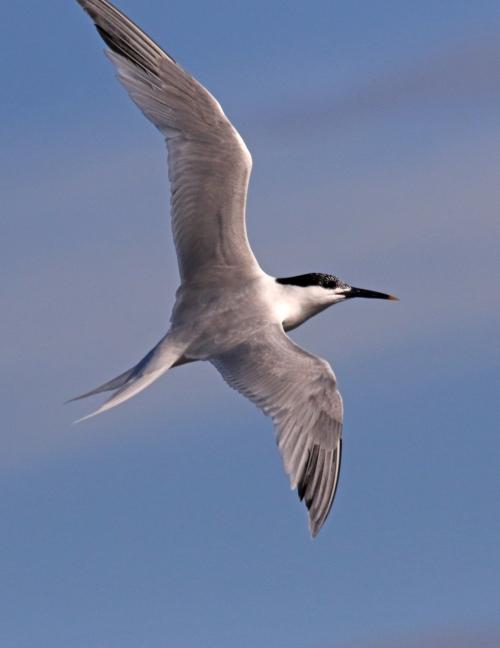 7F1A5543 Sandwhich Tern