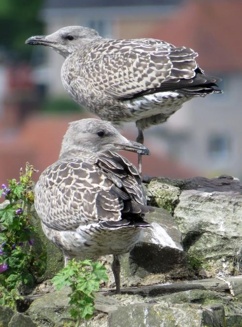 IMG_6033 Herring Gulls