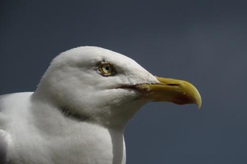 IMG_6059 Herring Gull ad