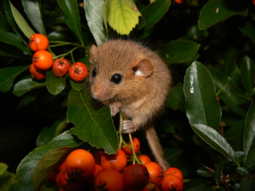 hazel-mouse-danielle-schwarz-wikipedia-commons