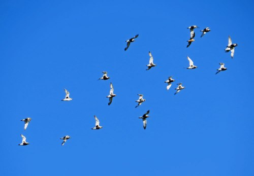 img_6314-grey-plovers-in-flight-fw