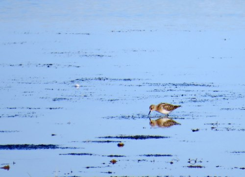 img_6317-little-stint-juv-fw
