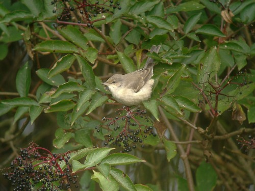 barred_warbler_sylvia_nisoria_-_geograph-org-uk_-_1036172