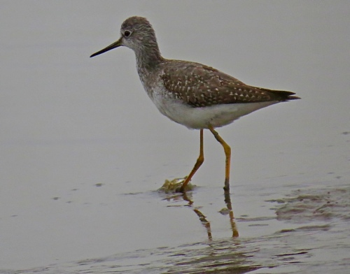 yellowlegs-lb2-ib