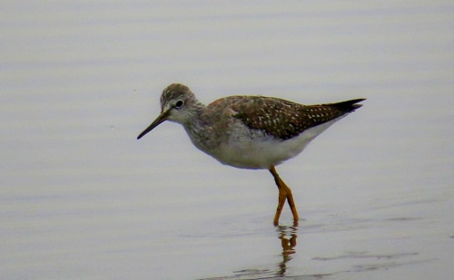 yellowlegs1-lb-ib