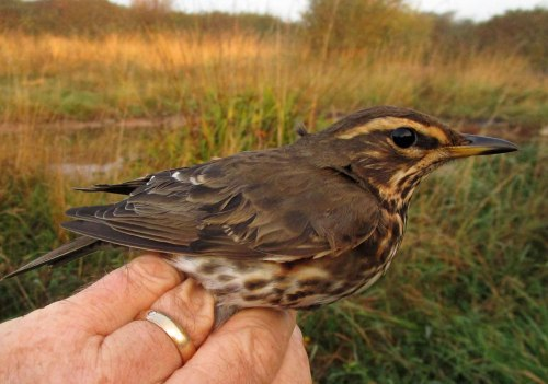 img_5067-redwing-for-blog