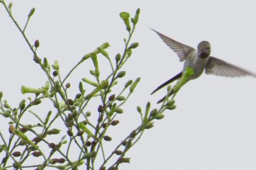 img_6483-oasis-hummingbird