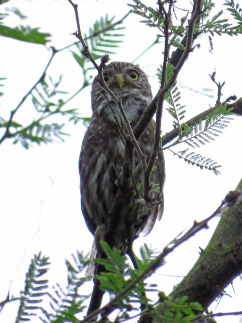 img_6625-pacific-pygmy-owl
