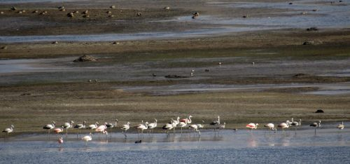 img_6676-chilean-flamingos-ducks