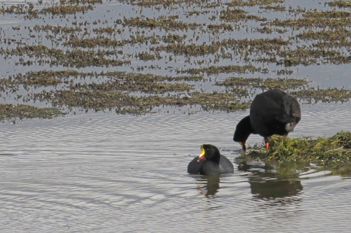 img_6688-giant-coots