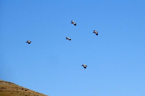 img_6848-puna-ibis
