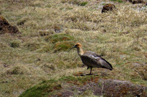 img_6859-puna-ibis