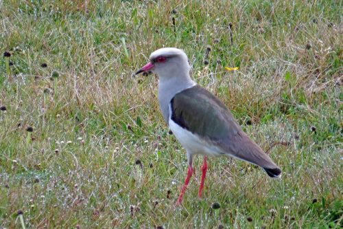 img_6956-andean-lapwing