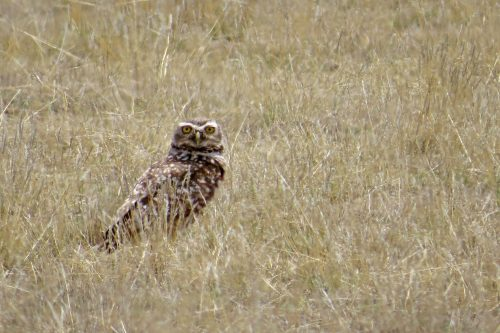 img_7272-burrowing-owl