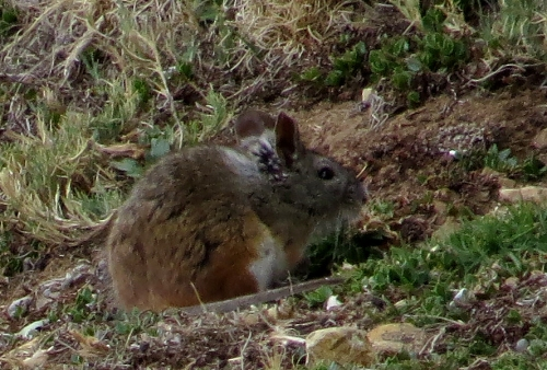 img_7376-rodent-sp