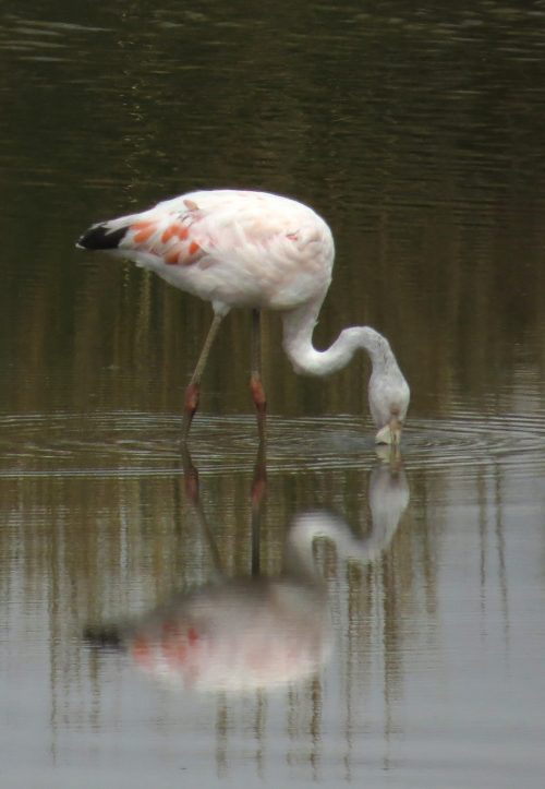 img_7426-chilean-flamingo