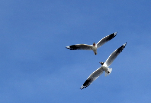 img_7497-andean-gulls
