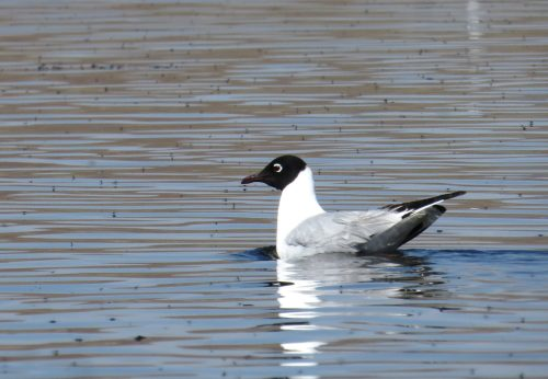 img_7625-andean-gull
