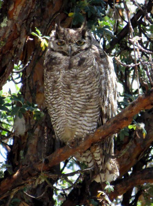 img_7688-magellenanic-horned-owl