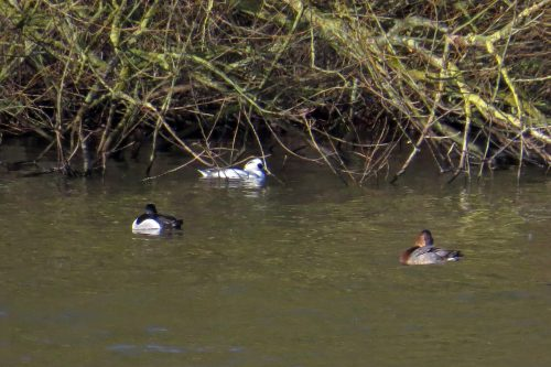 img_8691-rn-duck-smew-pochard