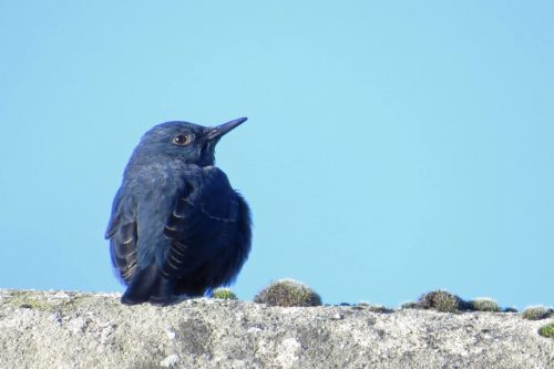 img_8783-blue-rock-thrush-male