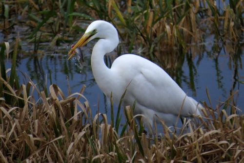 img_8802-gw-egret,