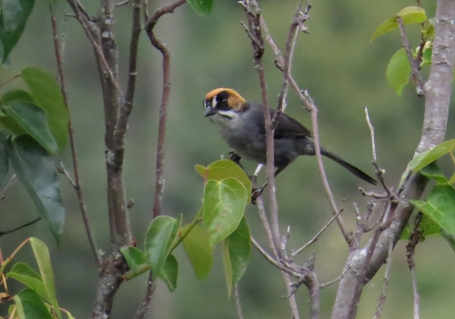 img_7893-black-goggled-brush-finch