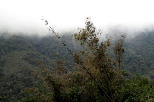 img_7963-flowering-bamboo