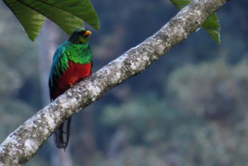 img_7991-golden-headed-quetzal