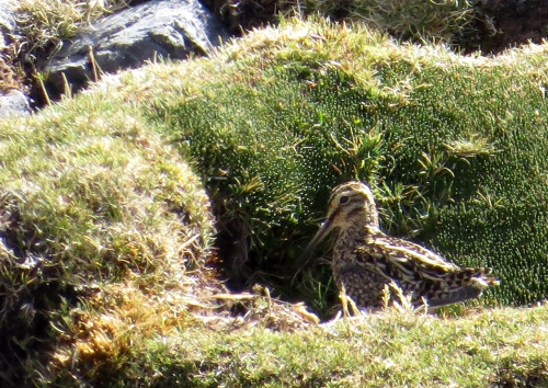 img_8094-andean-snipe