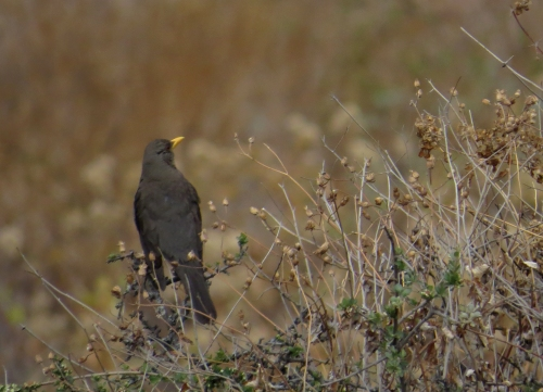 img_8315-thrush-to-id