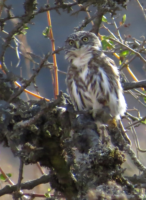 img_8329-pacific-screech-owl