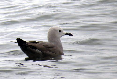 img_8363-grey-gull