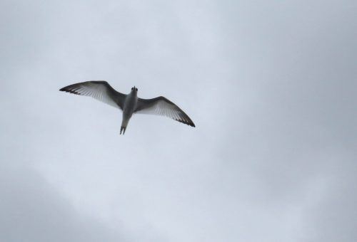 img_8368-swallow-tailed-gull