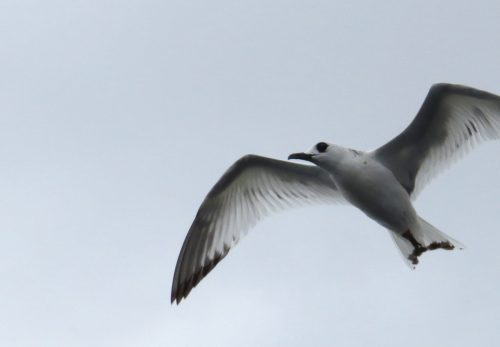 img_8389-swallow-tailed-gull