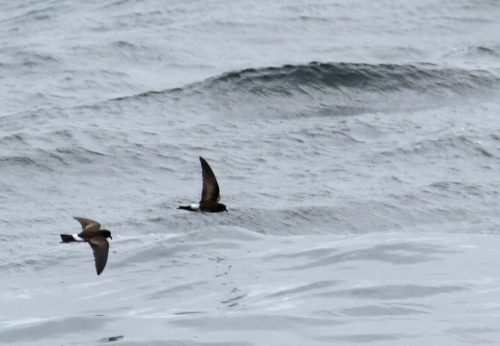 img_8401-storm-petrel-to-id