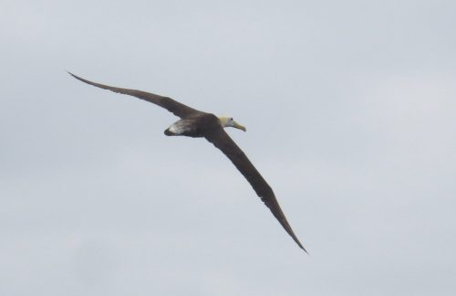 img_8429-waved-albatross