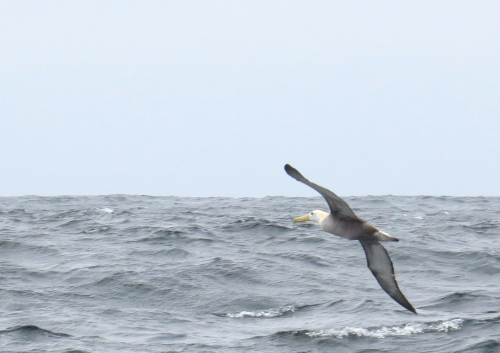 img_8431-waved-albatross