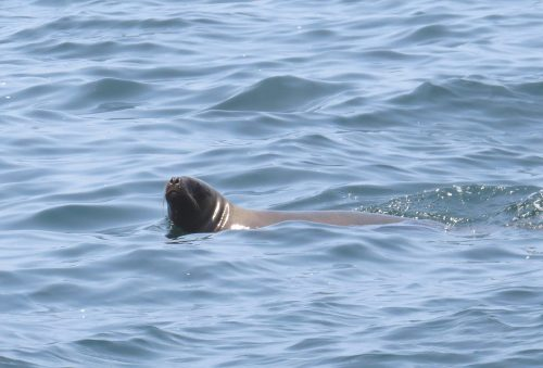 img_8479-sealion-at-sea