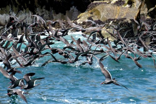 img_8531-inca-tern-flock