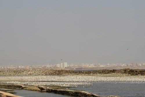 img_8582-lima-franklins-gulls