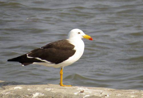 img_8587-belchers-gull
