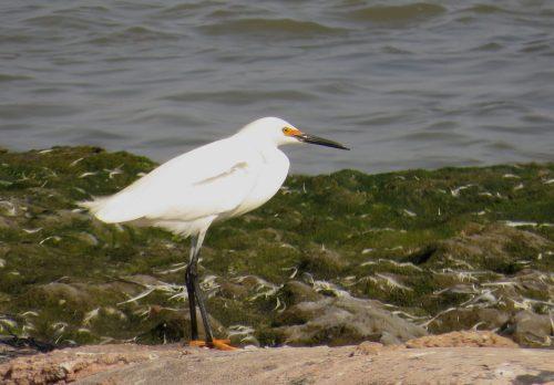 img_8588-snowy-egret