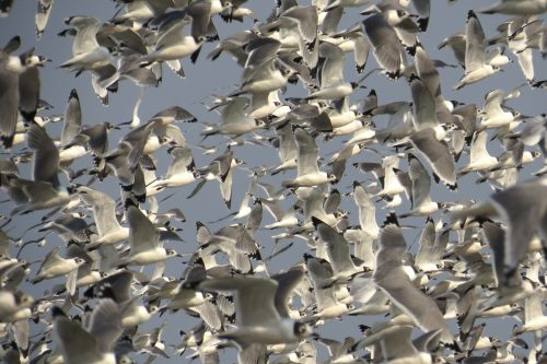 img_8604-franklins-gulls