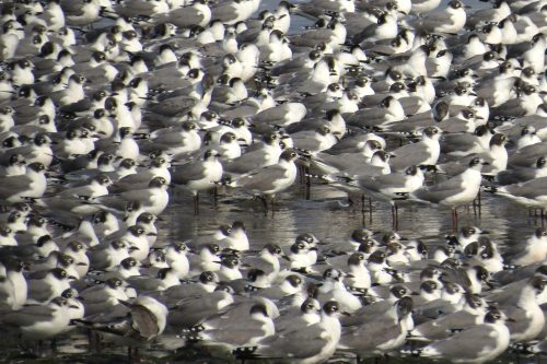 img_8614-franklins-gulls