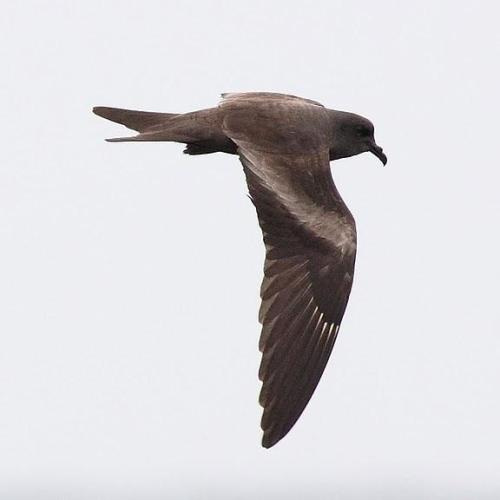 markhams_storm-petrel-cock-reijnders