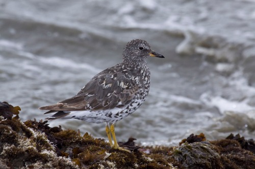 surfbird-california-marlin-harms